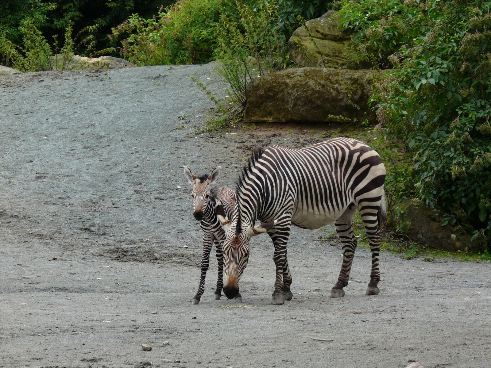 Zebra horská Hartmannové (Equus zebra hartmannae)