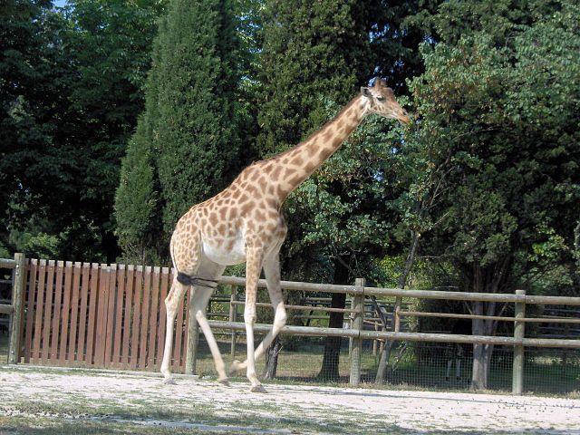 žirafa kordofanská (Giraffa camelopardalis antiquorum); Autor: Mathae