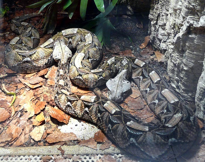 zmije gabunská