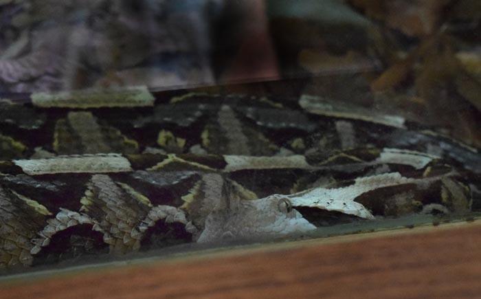 detail hlavy zmije gabunské