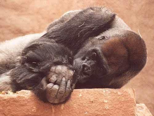 Gorila nížinná - Mladý samec a vůdce stáda (ZOO Praha)