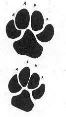 Hyena skvrnitá - stopy