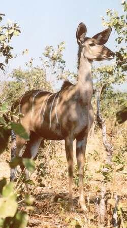 kudu-samice