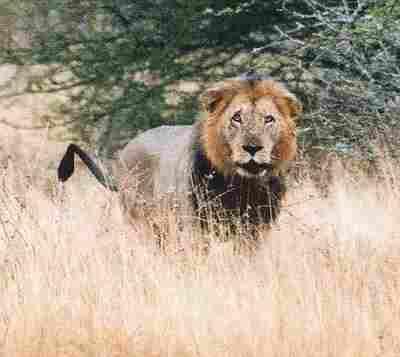 Lev (Kruger N.P., JAR)
