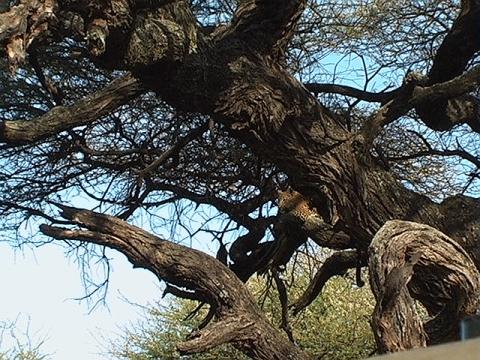 Levhart skvrnitý (Panthera pardus pardus), Tanzanie