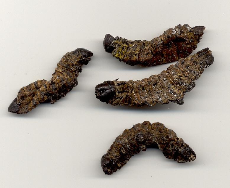 Gonimbrasia belina, mopane worm - Mopane Emperor Moth