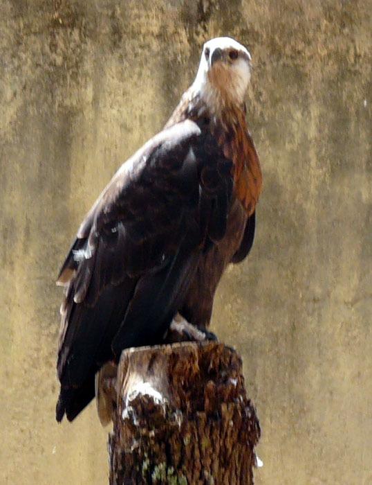 Orel madagaskarský (Haliaeetus vociferoides)