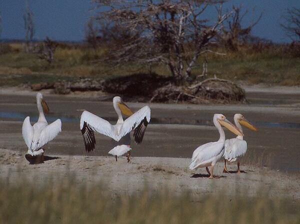 Pelikáni (Sowa Pan, Botswana)