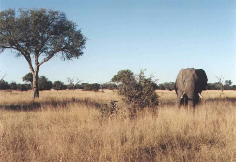 Slon africký v savaně
