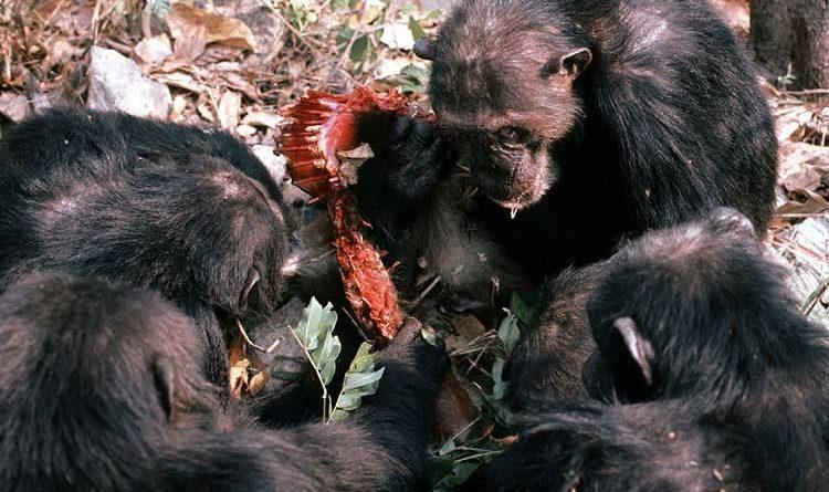 šimpanzi_a_kořist
